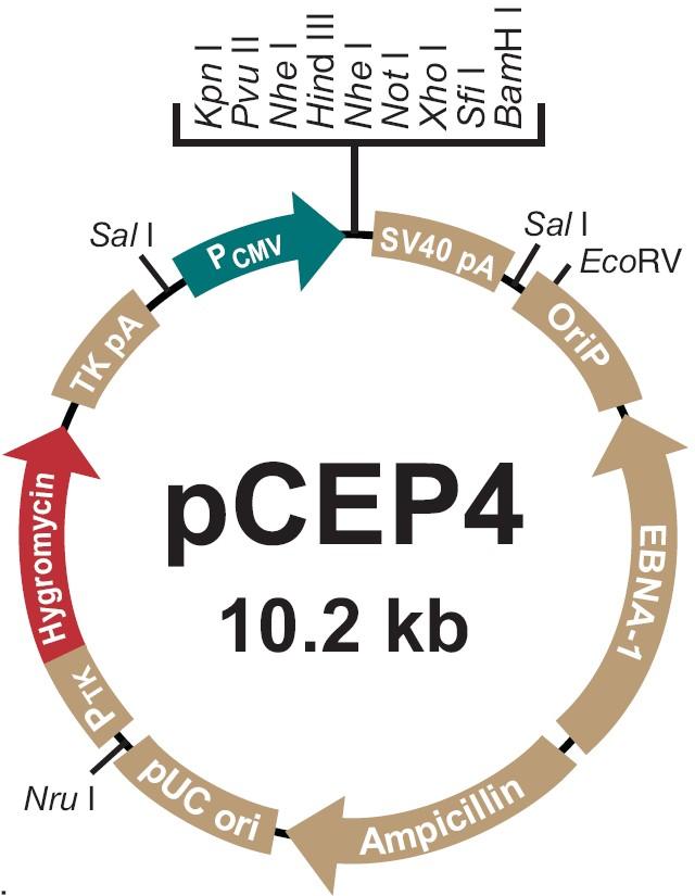 pCEP4载体图谱